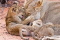 Lion Cub Play With Mother On Sand Stock Photos - 32683173