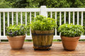 Home Herb Garden Containing Large Flat Leaf Basil Plants Royalty Free Stock Photography - 32686177