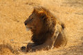 Majestic Lion Royalty Free Stock Images - 32689839