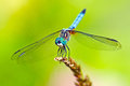 Dragonfly Blue Dasher Royalty Free Stock Image - 32690276