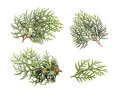 Leaves Of Pine Tree Stock Photo - 32696910