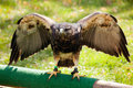 Red-tailed Hawk Stock Images - 32697014