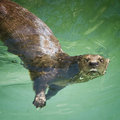 River Otter Royalty Free Stock Photography - 3270337