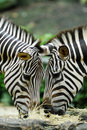 Feeding Zebras Stock Photography - 3273102