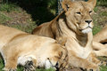 Lioness Stock Photography - 3273762