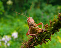 Grasshopper 1 Royalty Free Stock Images - 3279389
