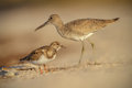 Willet In Florida Royalty Free Stock Photos - 32723868