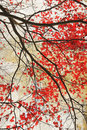 Beautiful Red Maple Grungy Background Royalty Free Stock Images - 32725689