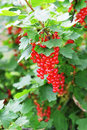 Ripe Red Currant Royalty Free Stock Photography - 32734657