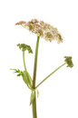 Cow Parsley Royalty Free Stock Photography - 32750317