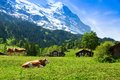 Cows On The Mountain Pasture Royalty Free Stock Photo - 32761625