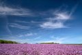 Blooming Onion Field Under Blue Sky Stock Photos - 32771583