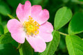 Dog Rose Flower On A Green Branch Royalty Free Stock Photos - 32777318