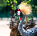 African Crowned Crane Stock Image - 32781081