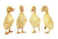 Duck Stock Photography - 32791812