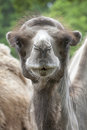 Portrait Of A Young Camel Royalty Free Stock Photography - 32793907