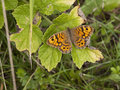 Wall Brown Butterfly Stock Image - 32799801