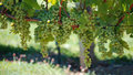Bunch Of Grapes Royalty Free Stock Photo - 3281185