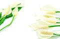 Spathiphyllum Stock Images - 32806484