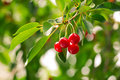 One Branch Of A Tree With Fruits Cherry Royalty Free Stock Photos - 32810178