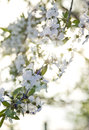 Branch Cherry Blossoms Backlit By Sunset Stock Photography - 32812942