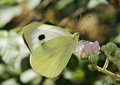 Large White Butterfly Royalty Free Stock Photo - 32826625