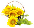 Bouquet Of Sunflowers Royalty Free Stock Images - 32828049
