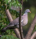 Close-up Of A Wood Pigeon Royalty Free Stock Photo - 32851155