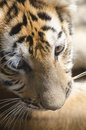 Tiger Cub Stock Photography - 32861672