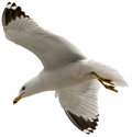 Seagull Flying Royalty Free Stock Photos - 32897708
