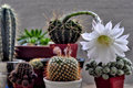 Flower Of Cactus Stock Images - 32910844