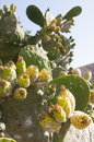 Opuntia Cactus Royalty Free Stock Images - 32918859