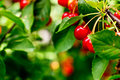 Cherries Royalty Free Stock Images - 32923899