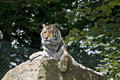 Siberian Tiger Royalty Free Stock Images - 32935139