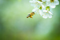 Honey Bee Enjoying Blossoming Cherry Tree Royalty Free Stock Photography - 32943667