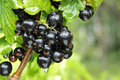 Black Currant Branch Royalty Free Stock Photography - 32951067