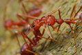 Red Ants Stock Photo - 32968640