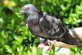 Rock Dove (Rock Pigeon) Sitting On A Fence Stock Photos - 32981233
