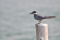 Whiskered Tern (Chlidonias Hybrida))  Standing On Post Royalty Free Stock Photography - 32999257