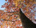 Old Oak Tree In The Fall Royalty Free Stock Photo - 332785