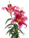 Pink Lilies Royalty Free Stock Image - 33000376
