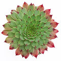 Succulent Pattern Royalty Free Stock Photo - 33003565