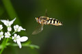 Hover-fly Approaching A Flower Royalty Free Stock Photos - 33012568