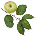 Apple Tree Branch With Green Leaves Royalty Free Stock Photo - 33032685