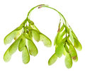 Twigs Of Green Ash Tree Leaves Stock Photos - 33032903