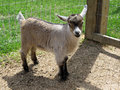 Nigerian Dwarf Goat Kid (female) Stock Photos - 33044563
