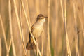 Great Reed Warbler Royalty Free Stock Photo - 33091715