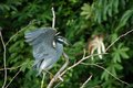 Yellow-crowned Night-Heron Royalty Free Stock Photos - 33094238