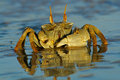 Ghost Crab Stock Images - 3311714