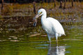 Snowy Egret With Fish Royalty Free Stock Photo - 33114835